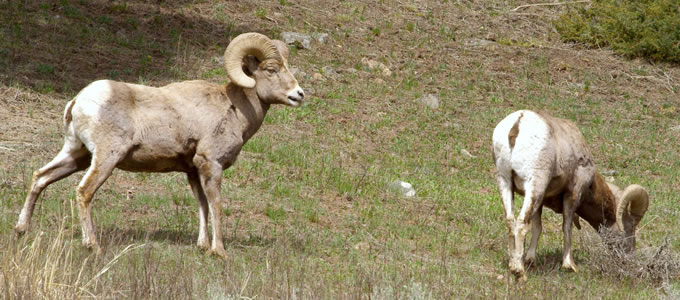 Big Horn Sheep near Big Sky, Montana